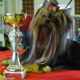 Yorkshire Terrier GINGER KISS Restart na wystawie