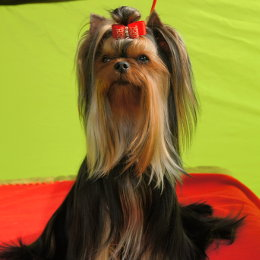 Yorkshire Terrier GINGER KISS Restart
