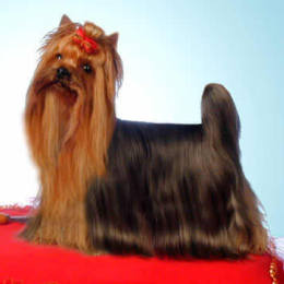 Yorkshire Terrier: JESSY Restart