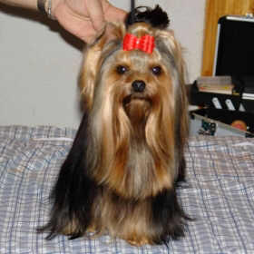champion Yorkshire Terrier
