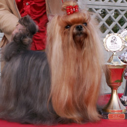 Yorkshire Terrier - PASSION Restart - Yorki Hodowla
