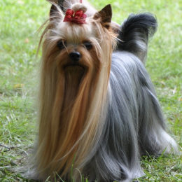 Yorkshire Terrier Champion