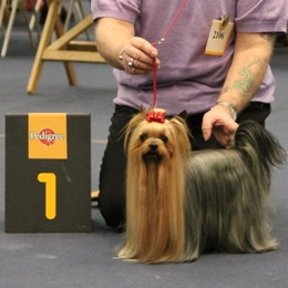 Yorkshire Terrier Interchampion