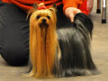 Yorkshire Terrier ROMANTIC DANCER  - Yorkshire-Terrier