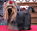 Yorkshire Terrier: WENUS DE PARIS Restart